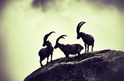 高地山羊 库存照片