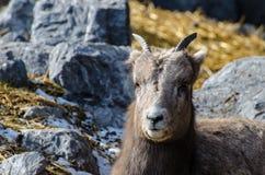 高地山羊lounging在地面上 免版税库存图片