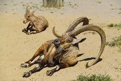 高地山羊nubian老年轻人 免版税库存图片