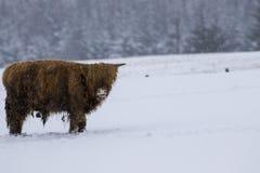 高地母牛、猜错金牛座、咕咕声,牛,年轻和女性搜寻在cairngorms国家公园内的积雪的领域, scotla 免版税库存图片