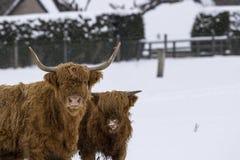 高地母牛、猜错金牛座、咕咕声,牛,年轻和女性搜寻在cairngorms国家公园内的积雪的领域, scotla 图库摄影