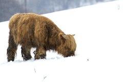高地母牛、猜错金牛座、咕咕声,牛,年轻和女性搜寻在cairngorms国家公园内的积雪的领域, scotla 库存照片