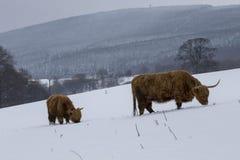 高地母牛、猜错金牛座、咕咕声,牛,年轻和女性搜寻在cairngorms国家公园内的积雪的领域, scotla 免版税库存照片
