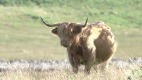 高地母牛吃草苏格兰HD 股票录像