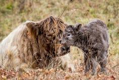 高地母牛和她新出生的小牛 免版税图库摄影