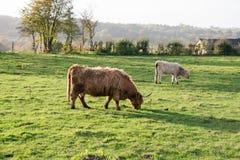 高地母牛和它是小牛 免版税库存图片