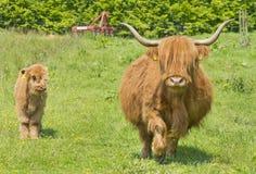高地母牛和小牛 免版税图库摄影