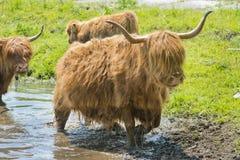 高地母牛和小牛 图库摄影