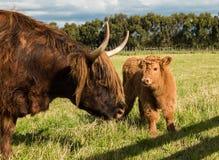 高地母牛和小牛 库存图片