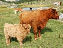 高地母牛和年轻人在山草甸女低音阿迪杰意大利 免版税库存图片