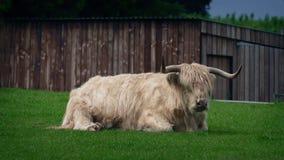 高地母牛在大风天 股票录像
