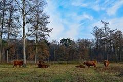 高地母牛在有蓝天的森林里 免版税库存照片