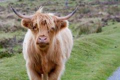 高地母牛在路的边在Dartmoor的 库存照片