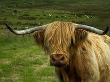 高地母牛头 库存图片