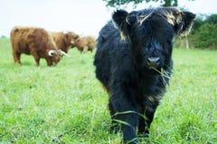 高地母牛小牛 免版税图库摄影