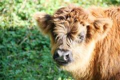 高地母牛年轻人在山草甸女低音阿迪杰意大利的 免版税图库摄影