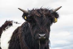 高地母牛的好奇小牛 免版税库存图片