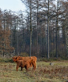高地母牛的小牛喝着与她的母亲 图库摄影