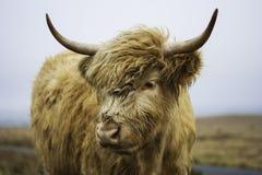 高地母牛的题头 图库摄影