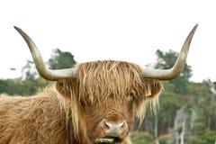 高地母牛的题头 库存图片