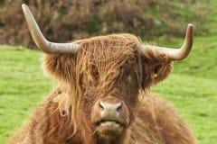高地母牛的题头 免版税库存图片