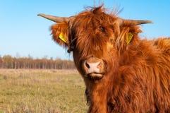 高地母牛的画象与长的头发的 免版税库存照片