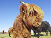高地母牛调查照相机 免版税图库摄影