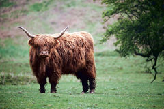 高地母牛, 免版税图库摄影