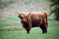 高地母牛, 免版税库存照片