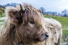 高地母牛 库存照片