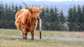 高地母牛 影视素材