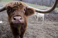 高地母牛 库存图片