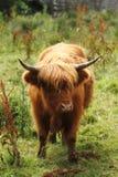 高地母牛 免版税图库摄影