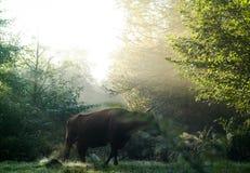 高地牛在有雾期间的森林里 库存照片