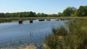 高地牛在池塘 图库摄影