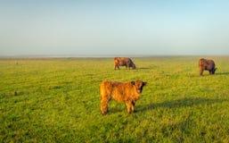 高地牛在清早阳光下 免版税库存图片