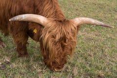 高地牛在草甸 免版税库存图片