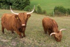 高地牛在草甸 免版税库存照片