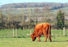 高地牛母牛,吃草在领域 库存照片
