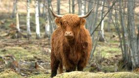 高地牛母牛 免版税库存照片