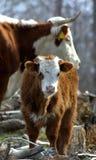 高地牛母牛 库存图片