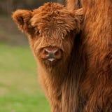 高地牛逗人喜爱的小牛在母亲的尾巴后的 库存图片
