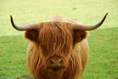 高地牛,苏格兰 免版税图库摄影