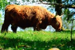 高地牛 库存图片