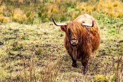 高地牛- Bo Ghaidhealach - Heilan咕咕声-与典型长的垫铁的苏格兰牛品种和长期波浪 图库摄影