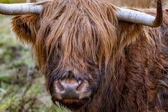 高地牛- Bo Ghaidhealach - Heilan咕咕声-与典型长的垫铁的苏格兰牛品种和长期波浪 免版税库存照片
