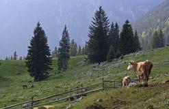 高地牧场地和母牛 库存照片