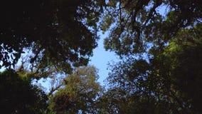 高地生苔雨林树冠  股票视频