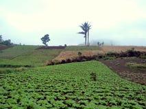 高地的圆白菜农场 免版税库存照片