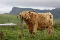 高地的牛 免版税库存照片